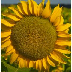 Семена подсолнечника НС Орфей
