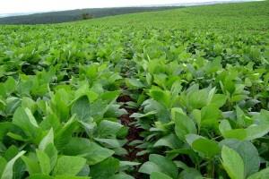 Соя: як досягти прогнозованого врожаю?