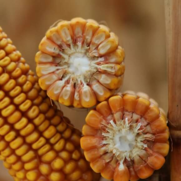 Семена кукурузы Гэндальф купить