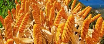 Добрива для кукурудзи купити