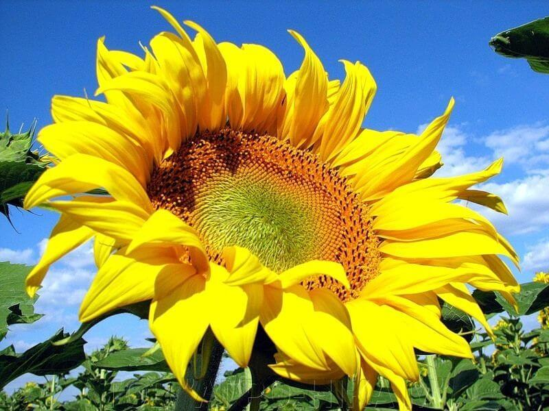 Насіння соняшнику Талент ціна