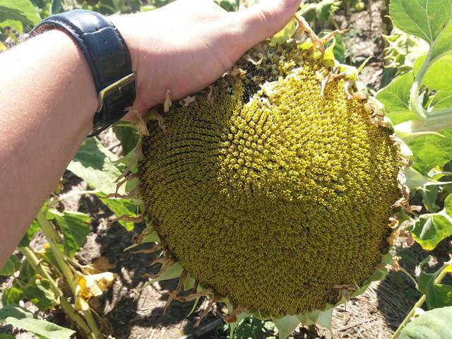 Семена подсолнечника устойчивые к заразихе