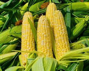 Купити насіння кукурудзи