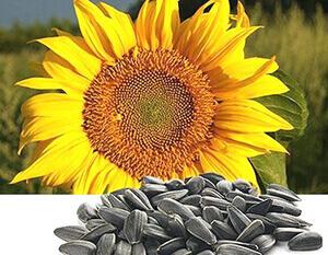 купить семена подсолнечника