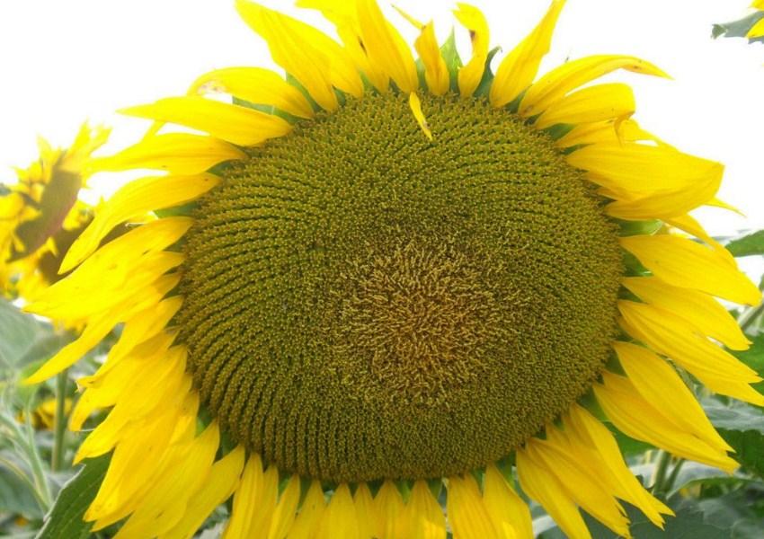 Купити Класичні Насіння соняшнику