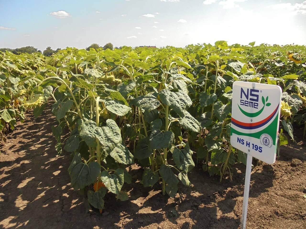 Купить  Высокоурожайный Гибрид семян подсолнуха НС Х 195