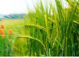Купити гербіциди для кукурудзи, Гербіциди від бур'янів недорого