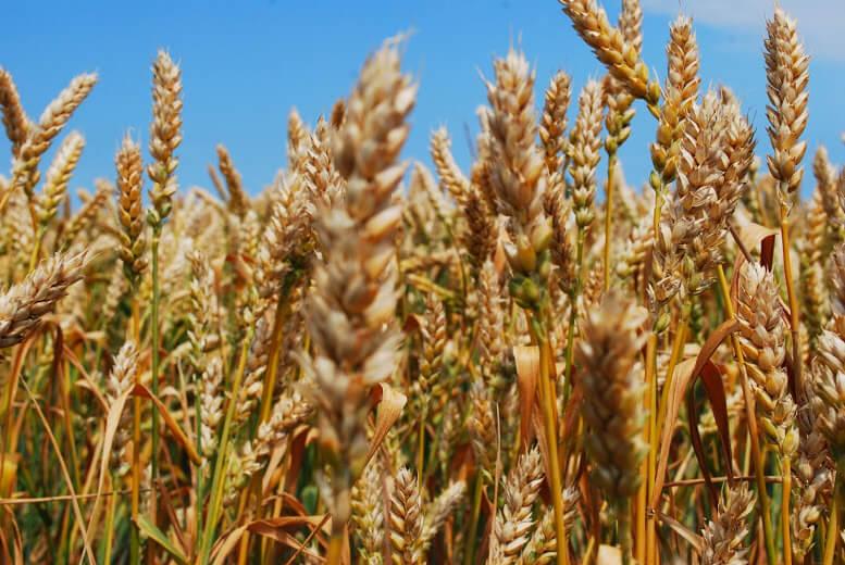 купить семена озимой пшеницы