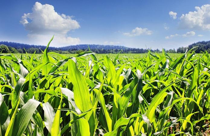 Насіння кукурудзи Нертус