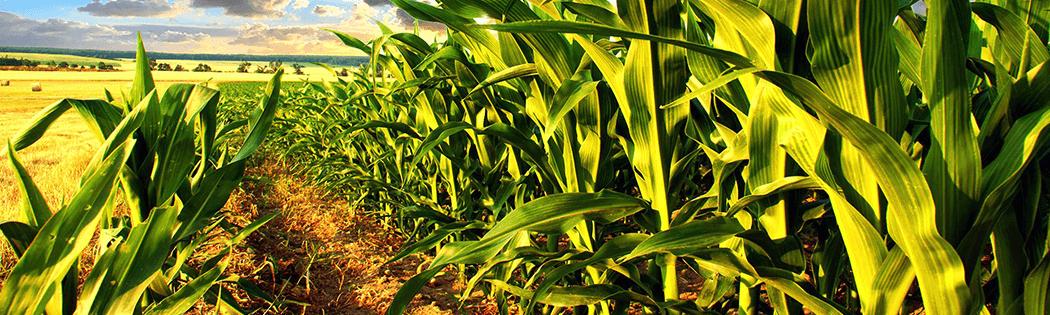Купить протравитель для кукурузы