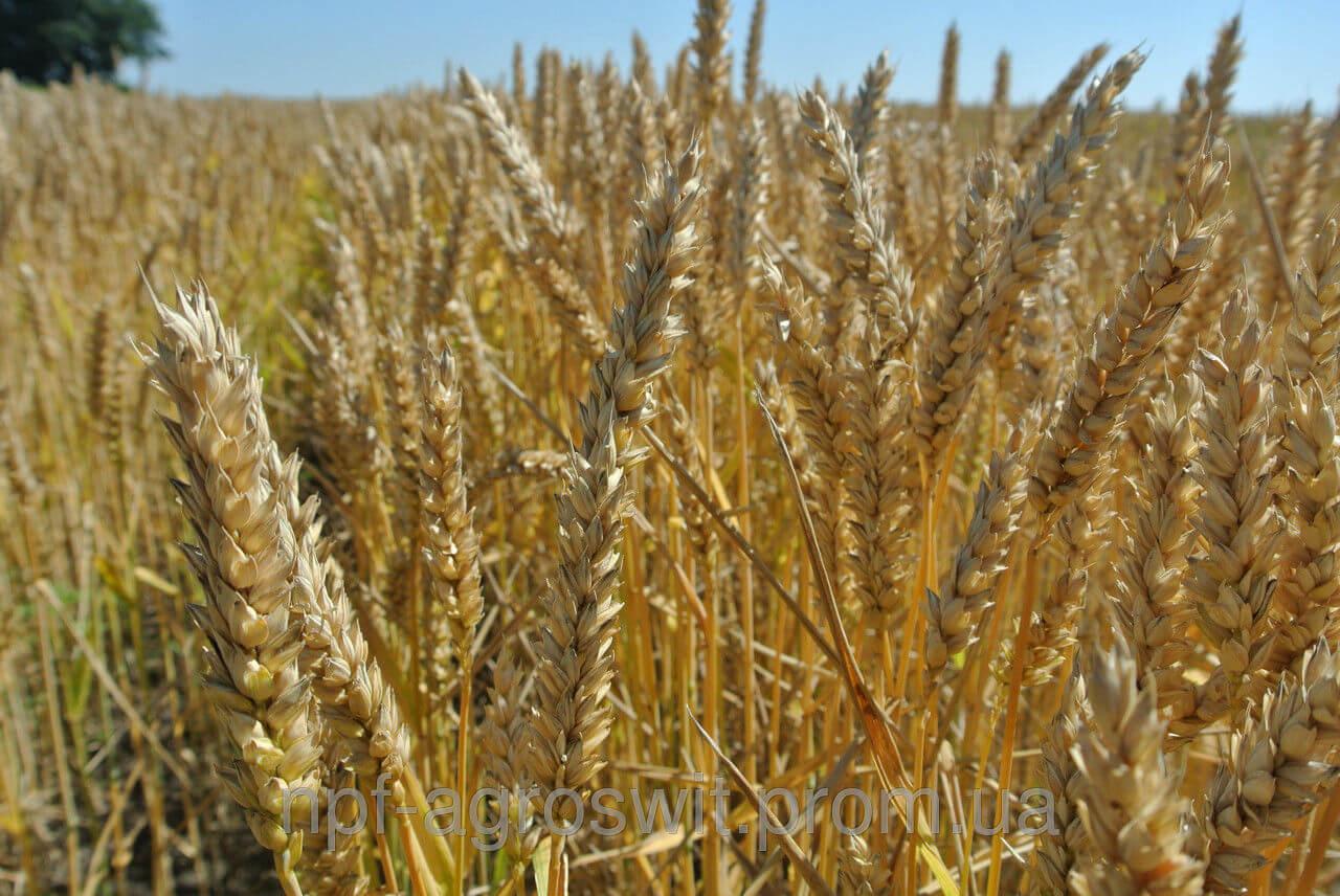 купить посевную озимую пшеницу в Украине