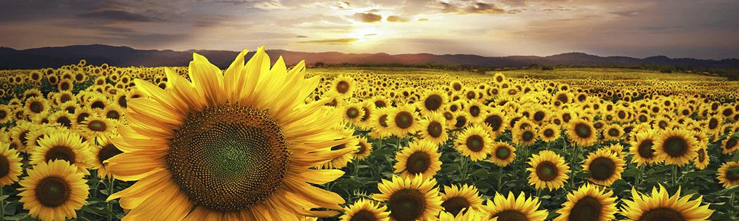 купити гербіциди для соняшнику