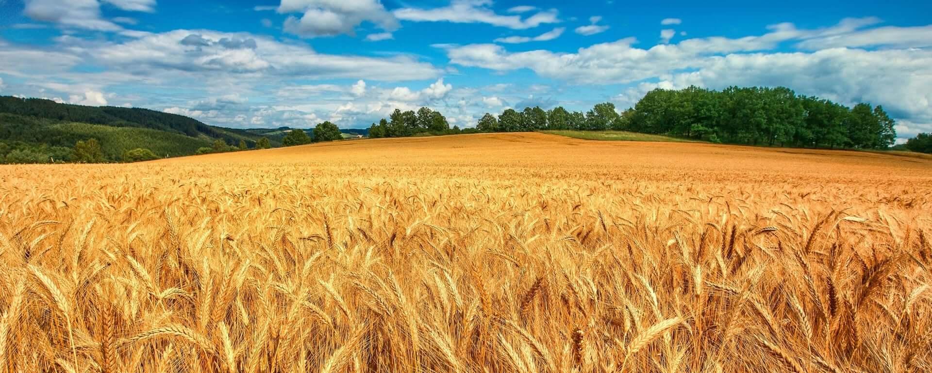 Насіння Озимої Пшениці ціна