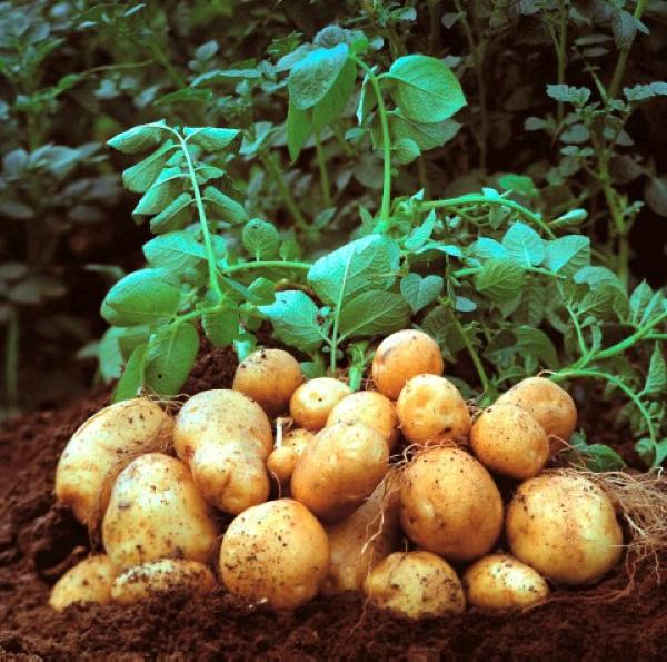 семена картошки Ривьера цена