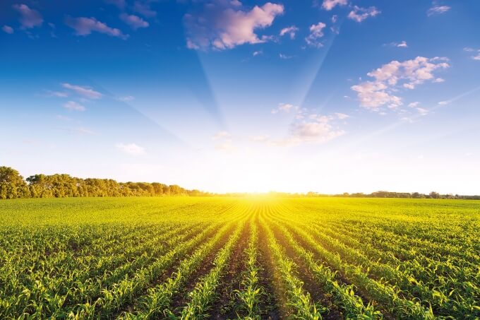 Купить Семена кукурузы Monsanto